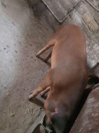 Продам дві свині (дюрьки) на свиноматки!