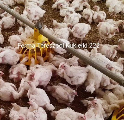 Brojlery, kurczaki mięsne, odchowane