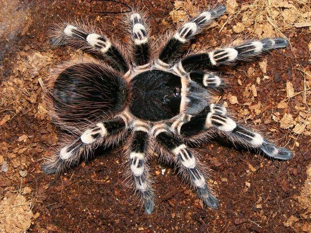 Acanthoscurria geniculata паук птицеед павук тварина экзотична