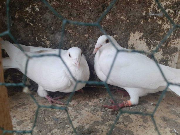 Gołębie pocztowe młode i dorosłe