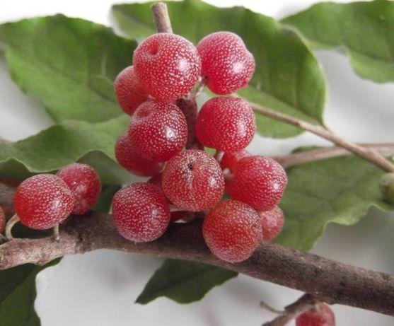 Planta- Groselha dos Açores