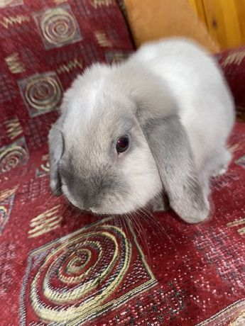 Декоративный кролик Французкий баранчик взрослый