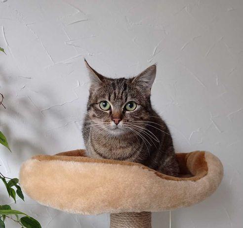 Полосаточка камышового окраса, отдам молоденькую кошку