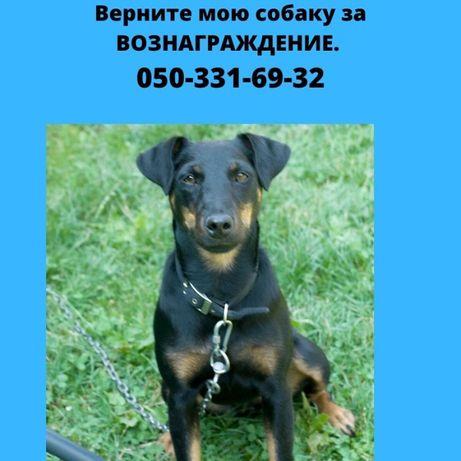 Пропала собака ягдтерьер в с.Плесецкое Васильковского р-на