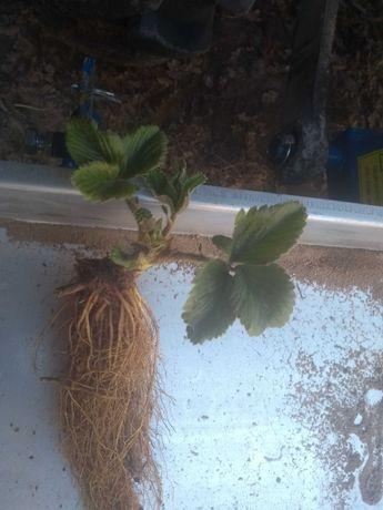 Sadzonki truskawek rozne odmiany 100 % zdrowe odkazone wysylka