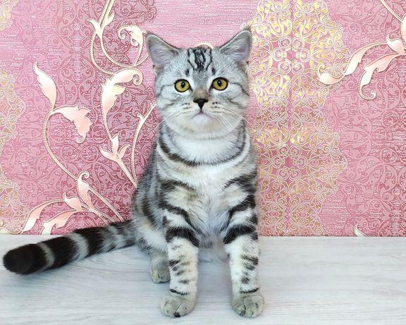 Шотландский котик Kaif
