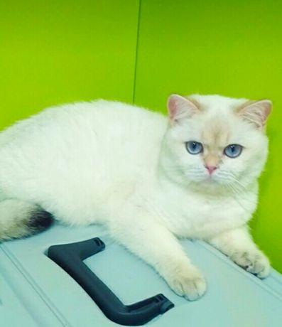 Котик золотая шиншилла Bri ay 11 33 , с голубыми глазами