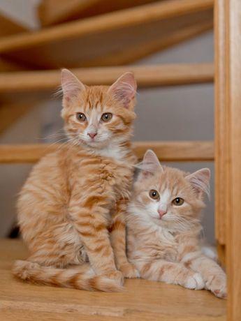 Котята Персиковые