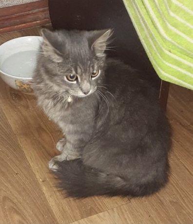 Найден, пропал потерялся кот, серый пепельный. С ошейником. Молдаванка