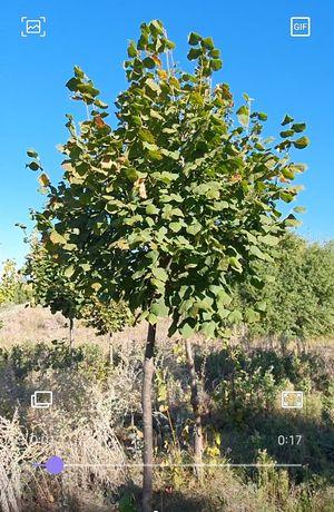 Липа золотое дерево клён японский