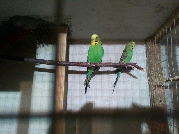 Papużki papugi faliste