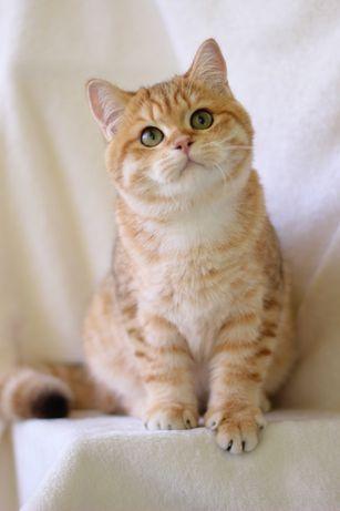 Британский золотой котик от чемпионов породы