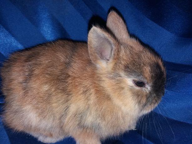 Декоративные мини кролики