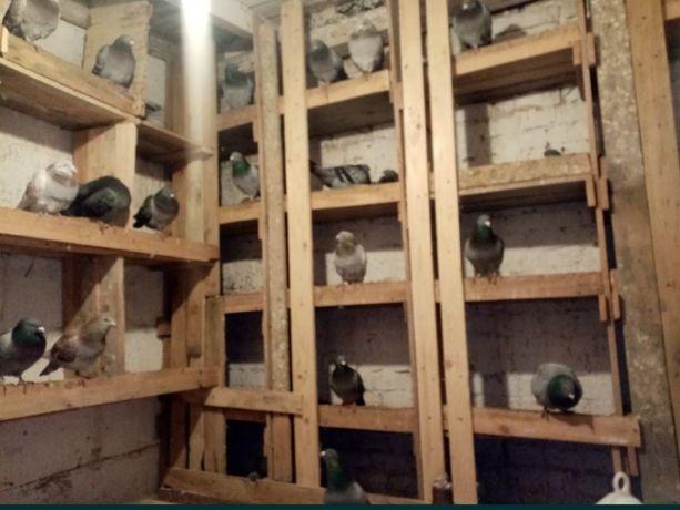 Gołębie pocztowe obrączkowane