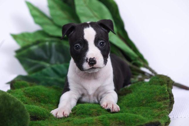 Амстафф - собака для тех, кто хочет чаще улыбаться!