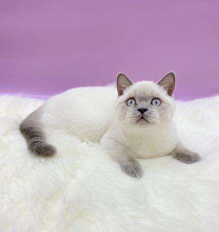 Шотландский котёнок с питомника!