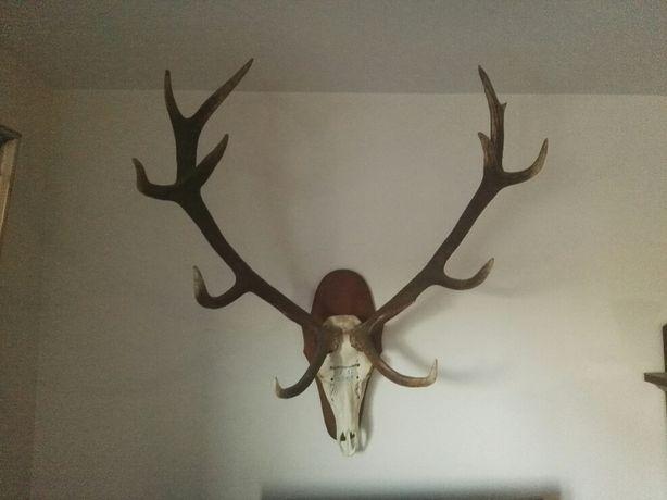 Poroże jelenia 12