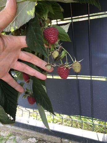 Malina - gigantyczne owoce