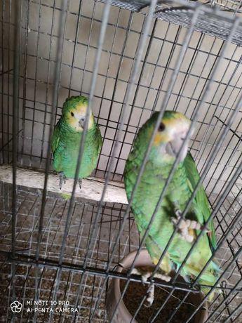 casal papagaios amazonas barbadensis macho 2019 femea 2018