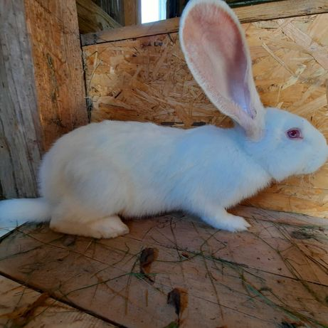 Sprzedam króliki Belgijski Olbrzym Biały