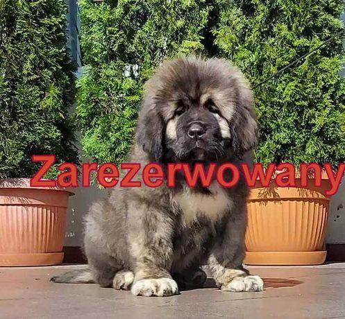 Owczarek kaukaski , pies, szczenię z rodowodem FCI