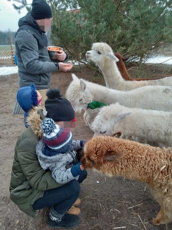 Ranczo Maestro-zwiedzanie, spacery z alpakami