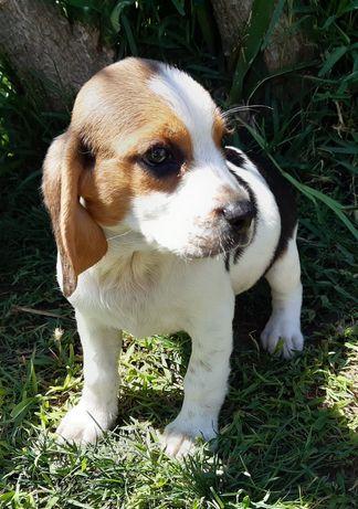 Excelente Fêmea Beagle