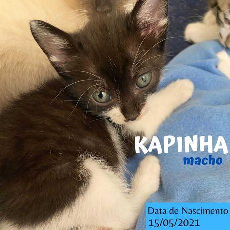 Gatinho 2 meses para adoção (Kapinha)