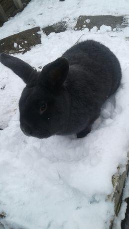 Кролик.Голубий відденський