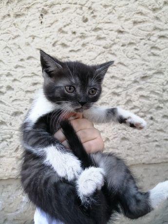 Kotka- mieszanka brytyjska