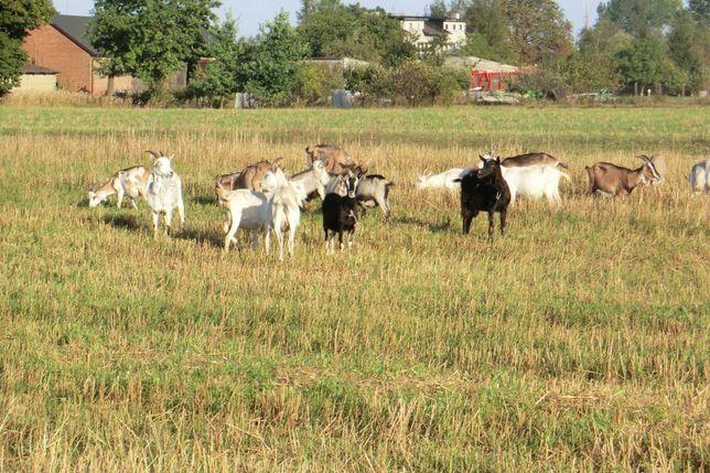 Sprzedam stado kóz - 24 sztuki.