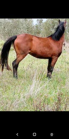 Vendo egua mansa
