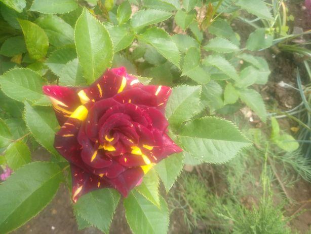 Розы продажа кустов
