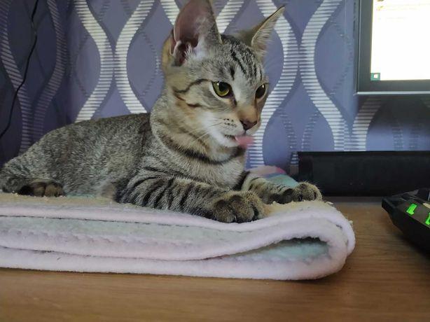 Intararra - urocza bura kociczka szuka domku