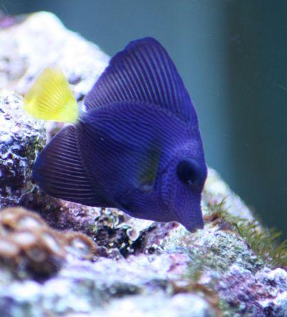 Ryba Zebrasoma Xanthurum, akwarium morskie