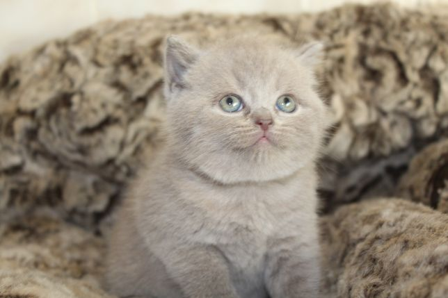 Британские котята по доступной цене