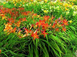 Hemerocallis ×hybrida liliowiec ogrodowy