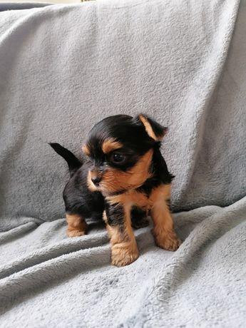 Yorkshire Terrier – szczenięta