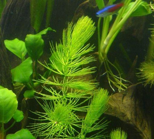 Продам аквариумное растение елочка