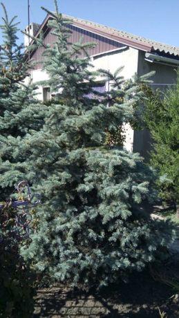 голубая ель елка
