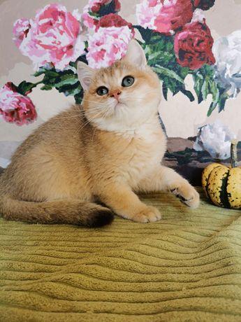 Шикарный котик золотая шиншилла