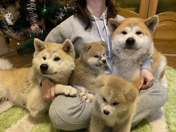 Продаю щенков Акита-Ину