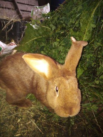 Продам кроля новозеландський Красный НЗК