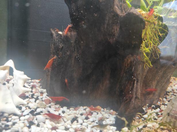 camarões Red Cherry