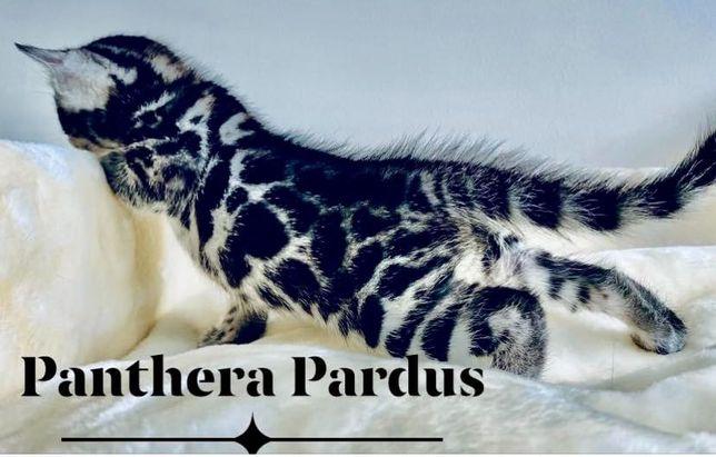 Rezerwacja!!Kocurek Bengalski, kot Bengalski rodowodowy