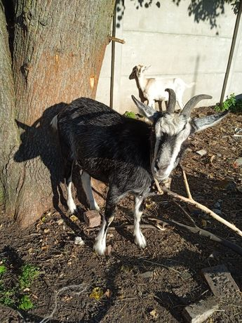 Roczna koza Baśka
