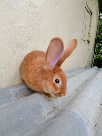 Кролики породи бургундія