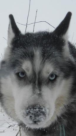 Siberian Husky - piesek