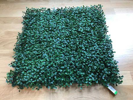 Bukszpan maty - 12 sztuk z przesyłką OLX - zielona ściana na taras