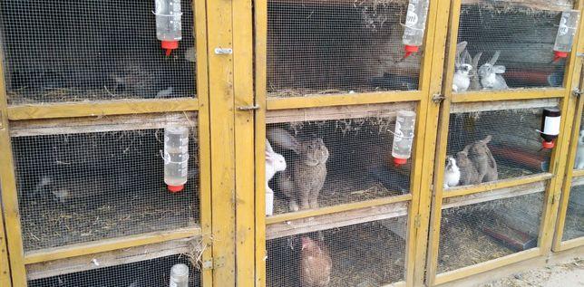 Sprzedam króliki różne rasy